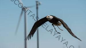 Cómo los investigadores pueden mantener a las aves seguras a medida que se expanden los parques eólicos de EE. UU.