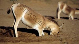 Los burros salvajes y los caballos diseñan pozos de agua que ayudan a otras especies