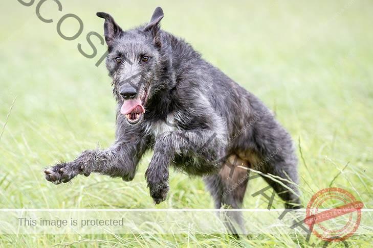 Deerhound escocés saltando a través de altas hierbas verdes