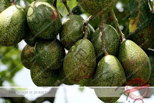 Árboles frutales tropicales