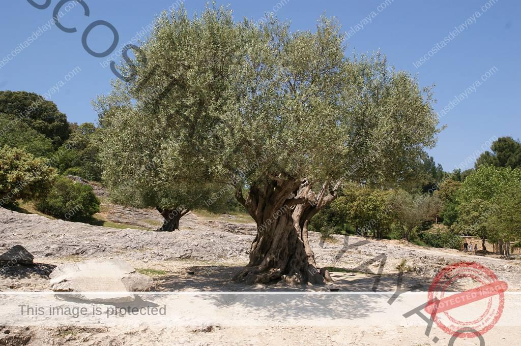 Árboles frutales de secano