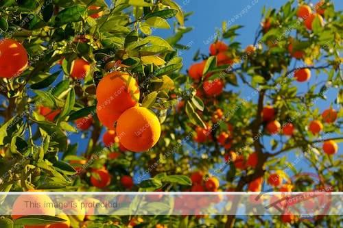 Todo lo que debes saber sobre el naranjo