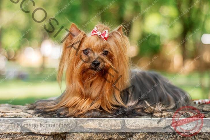 Yorkshire Terrier que se establecen al aire libre.