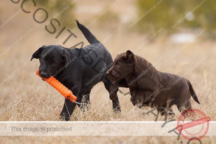 Dos cachorros de Labrador Retriever jugando con un señuelo al aire libre.