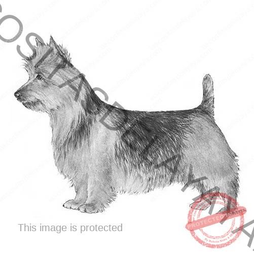 Ilustración de Terrier australiano.