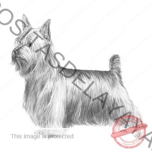Ilustración de Silky Terrier.