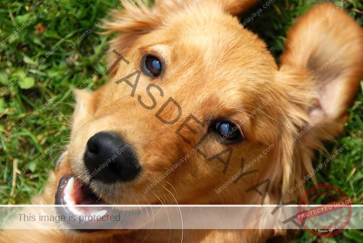 Retrato de cabeza de Golden Retriever tendido boca abajo en la hierba.