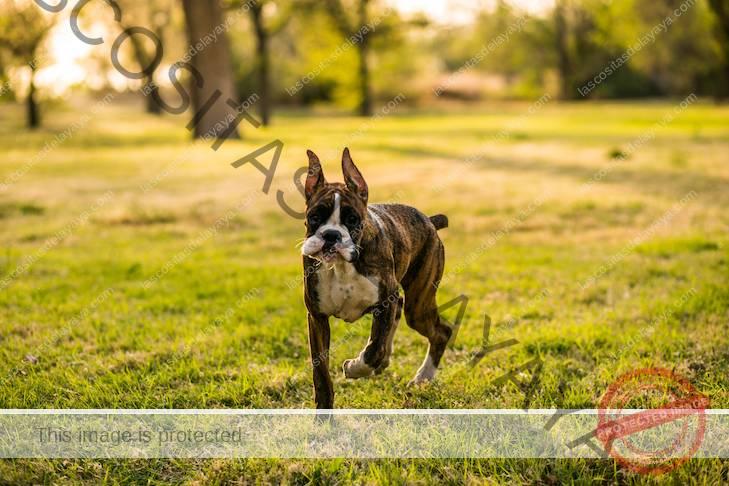 Cachorro Boxer caminando en la hierba.