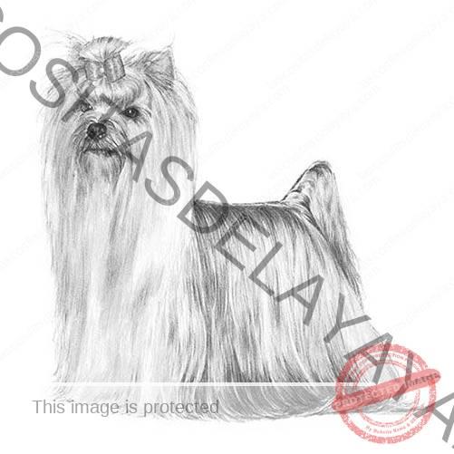 Ilustración de Yorkshire Terrier.