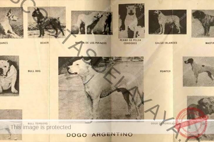 Historia de Dogo Argentino