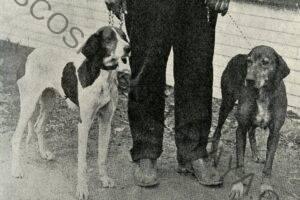 """Historia del Coonhound inglés americano: por qué la mayoría los llama """"perros ingleses"""""""