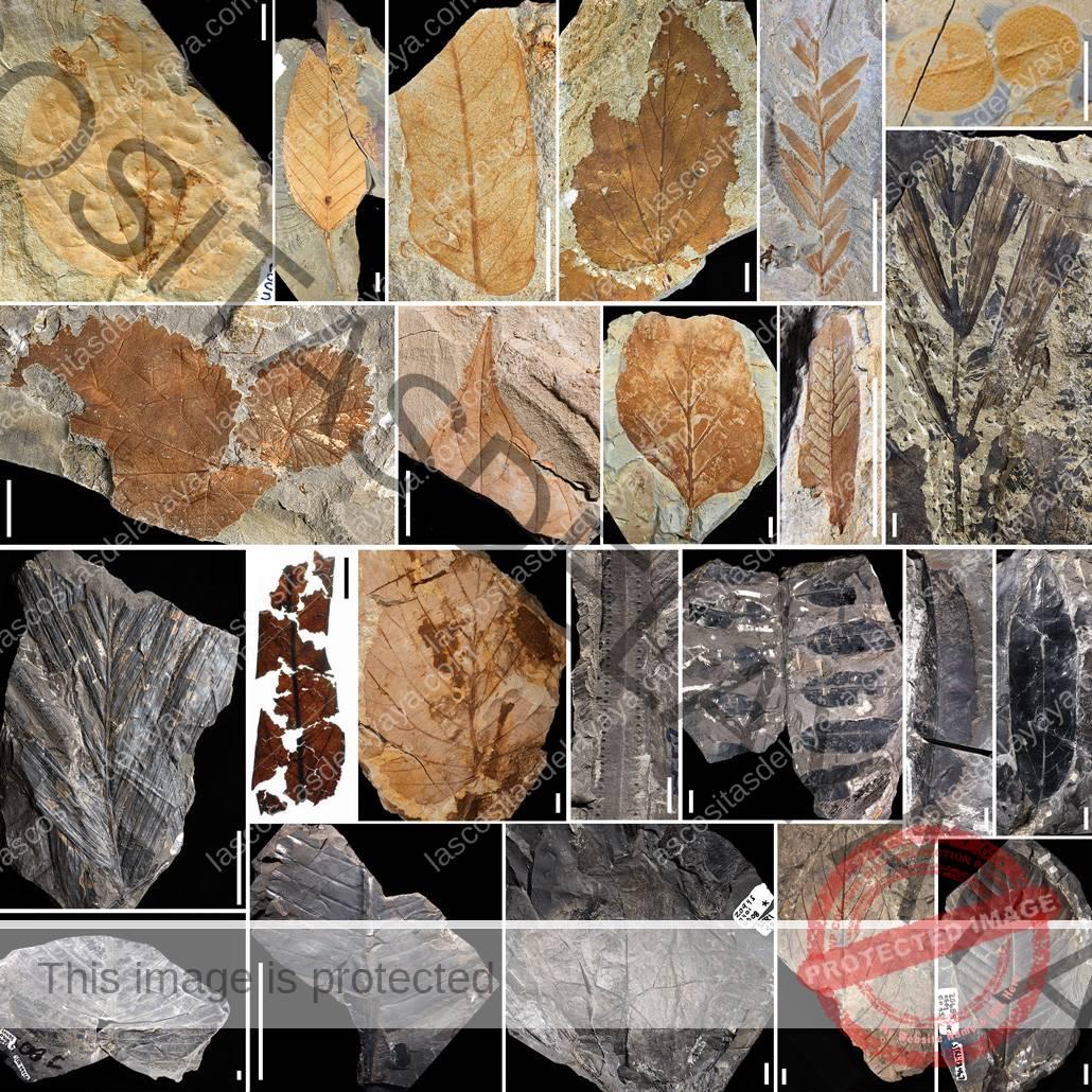 fósiles de hojas y polen