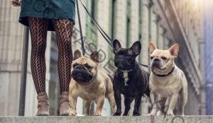 El Bon Vivant: cómo el bulldog francés se convirtió en el segundo perro más popular