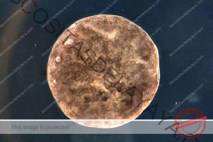 imagen microscópica de un xenobot