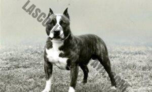 "Historia del American Staffordshire Terrier: cómo se separó AmStaff del ""Pit Bull"""